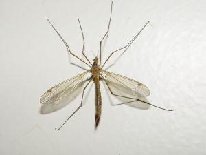 Nasty mosquito!