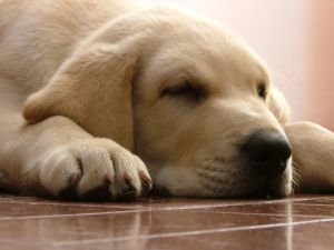 Epilepsy in Dogs Sleepy Dog