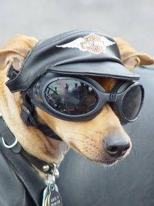 Photo representing leather pet clothing. This is a dog wearing a lot of leather. He is ready to ride on a Harley Davidson motorcycle!