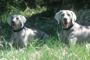 Two Beautiful and Strong Dogs